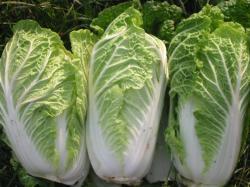 Chicory Chinese Cabbage