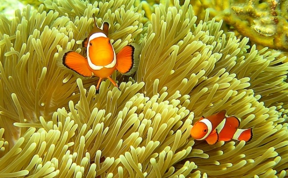 Clown Fish. (Photo : Asri To'/ @asri1782)