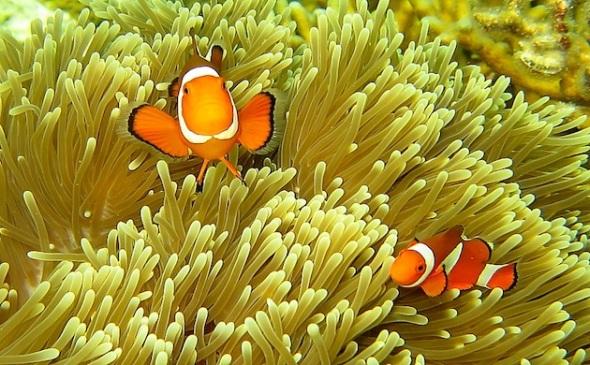 Clown Fish. (Photo : Asri To'/ @asri1782)