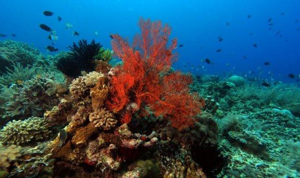 BUNAKEN : Bunaken Coral Reef, Manado, North Sulawesi