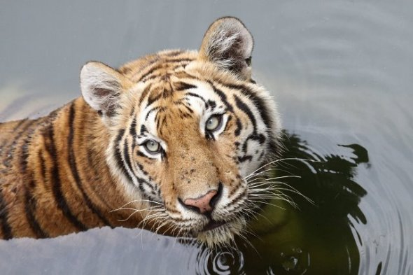 Sumatran Tiger: Way Kambas National Park in Lampung located apart is the elephant sanctuary is also one of the rare Sumatran tiger habitat. Let's explore this national park!