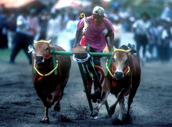 MADURA : Karapan cow is one annual event held from August to October in Pamekasan, Madura. With a 100-meter track, the jockey race spurred two options oxen heading to the finish line. Pamekasan is approximately 200 km from Surabaya.