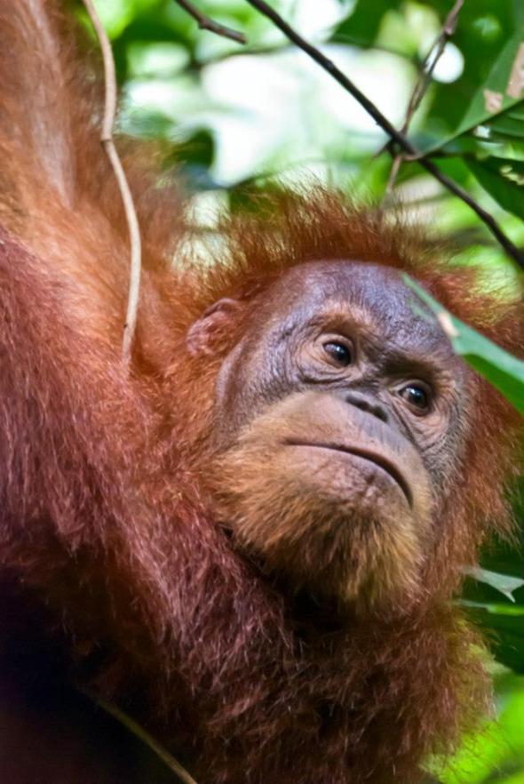Orangutan in Bukit Lawang, Nas Park. Mount Leuser.