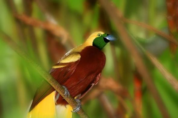 PAPUA : Birds of paradise has a beautiful coat that is also dubbed as the bird of paradise. Total population has declined because of hunting to get a beautiful fur and destruction of habitat due to deforestation. See for yourself the beauty of the National Park Wasur Merauke.